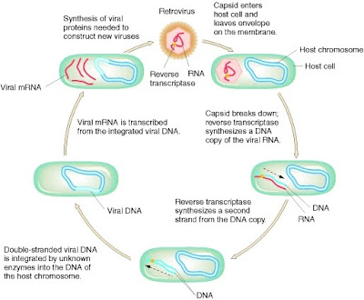 Cell cycle biology homework help